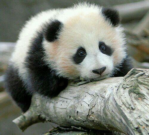 Coup de ♡ du jour ~ Panda