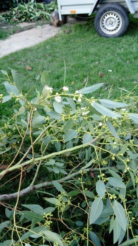 Feu ................ l'eucalyptus