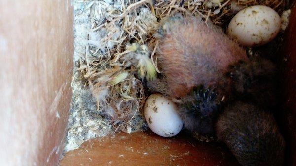enfin une naissance à terme chez les oiseaux