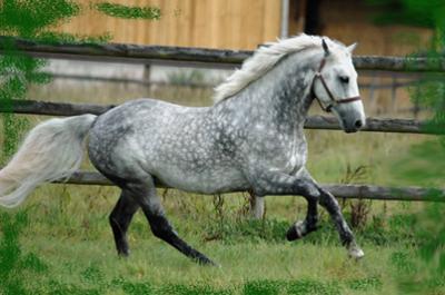photo cheval connemara