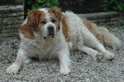 Buddy, Saint Bernard  18/05/2001 - 17/06/2011