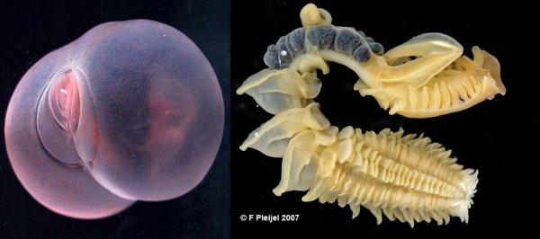 Les annélides: les polychètes