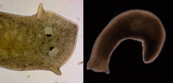 Les plathelminthes: les turbellariés (groupe non strict)
