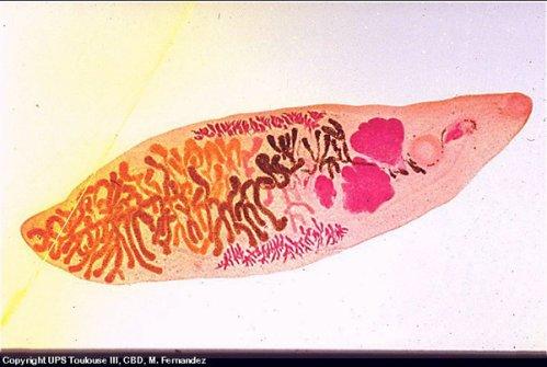 Les plathelminthes : les neodermates