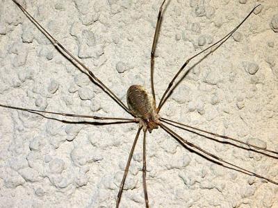 Faucheux Araignée les arthropodes: les arachnides: les opilions (ou faucheux