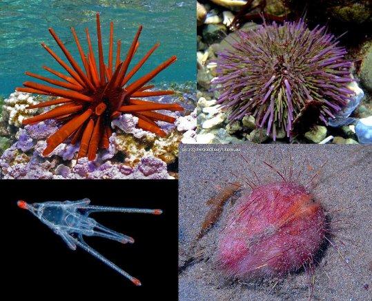 Les Echinodermes: les Echinoidés