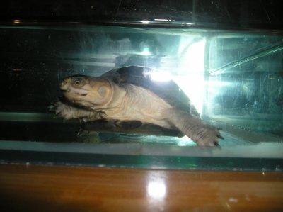 Ma petite tortue