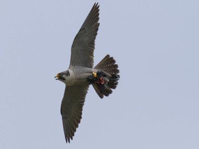 Le faucon pélerin vitesse vol max 80 km heure !