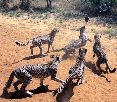 Le guépard vitesse jusque 110 km heure.