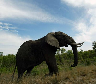 Eléphant trompe 40 000 muscles et trompe lève max 270 kg