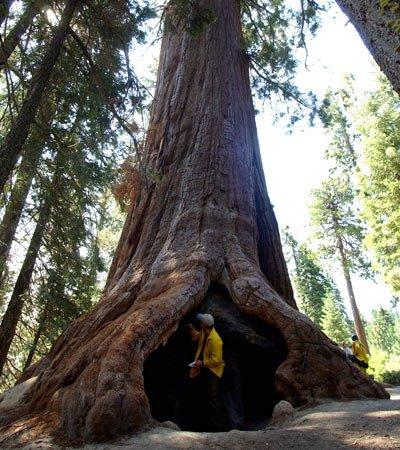 Séquoai géant 82 m de haut et 33 m de circonférence