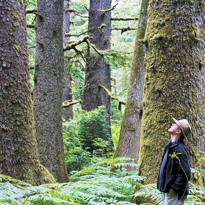 Epicéa arbre le plus vieux de monde en Suède 9550 ans.