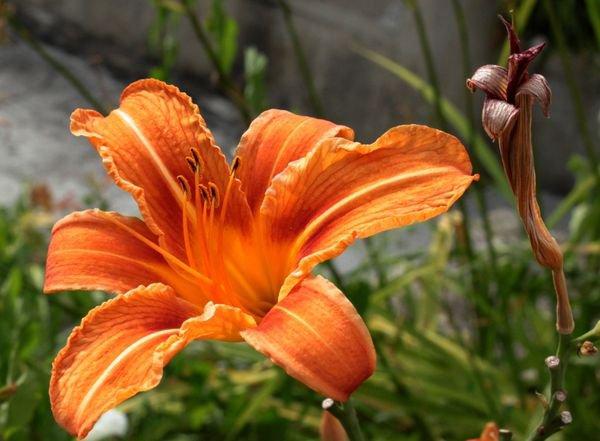 Les fleurs de mai : aujourd'hui les hémérocalles.