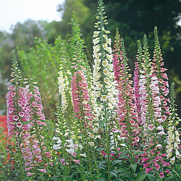 Les fleurs de mai : aujourd'hui les digitales aussi belles que très toxiques