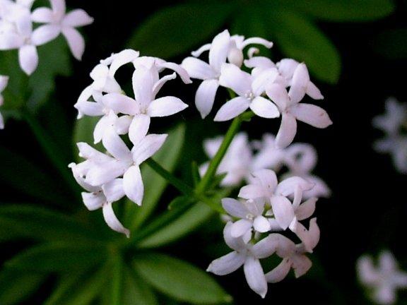 Les fleurs de mai : aujourd'hui les aspérules odorantes.