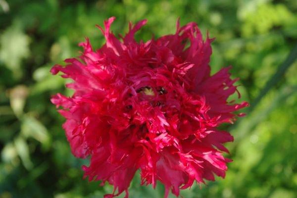 Les fleurs de mai, aujourd'hui : les pavots.