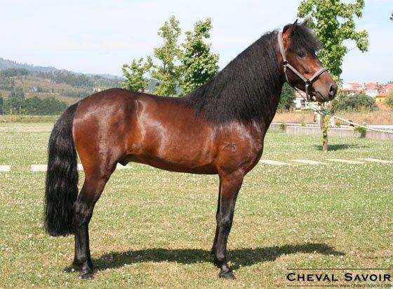 Aujourd'hui voici quelques races de poneys en danger : le Garrano