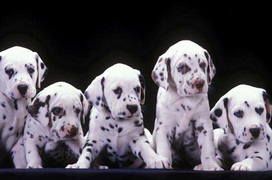 Bonjour à tous et à toutes, aujourd'hui, voici quelques gifs de dalmatiens, j'espère que vous aimerez.