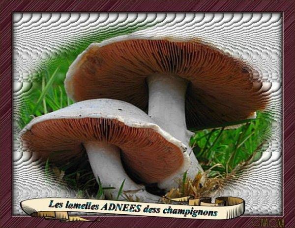 Les lamelles adnées des champignons