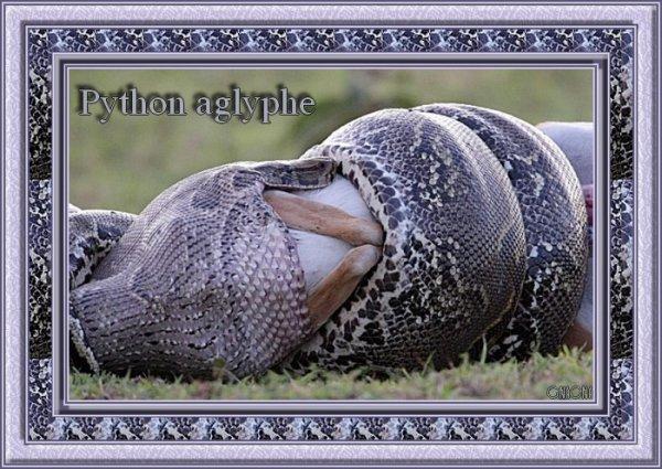 Le python aglyphe