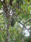 """Fruits exotiques des Comores 3.(Le corossol) """"Konoko Ziba"""""""
