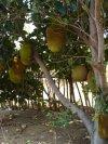 """Fruits exotiques des Comores 4.(Fruit du jacquier) """" fenesi"""""""