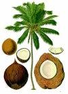 """Fruits exotiques des Comores 7. (Le coco) """"Nazi"""""""