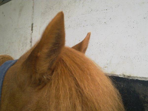 """"""" Les oreilles d'un cheval sont comme les yeux d'un homme """""""