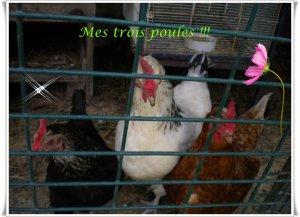 Mes poules !