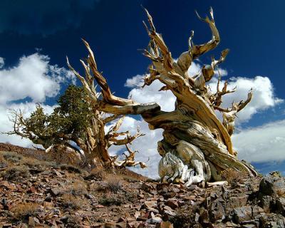 le plus vieux arbre connu sur terre manal. Black Bedroom Furniture Sets. Home Design Ideas