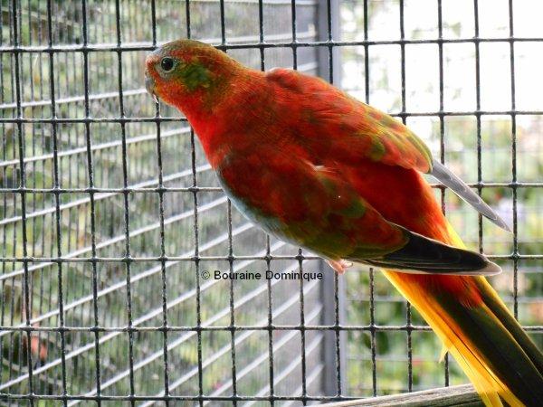 Turquoisine Mâle opaline Gris Vert VP & DOS rouge (suite 1)