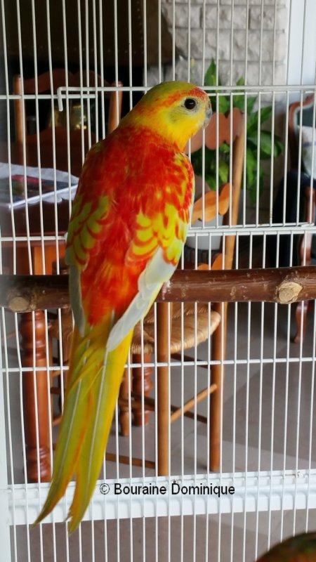 Turquoisine mâle opaline dilué VPD rouge