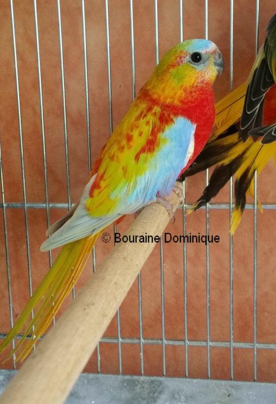 Mes autres oiseaux présents au Championnat de France CDE 2015