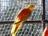 Turquoisine opaline mâle VPDR 2015