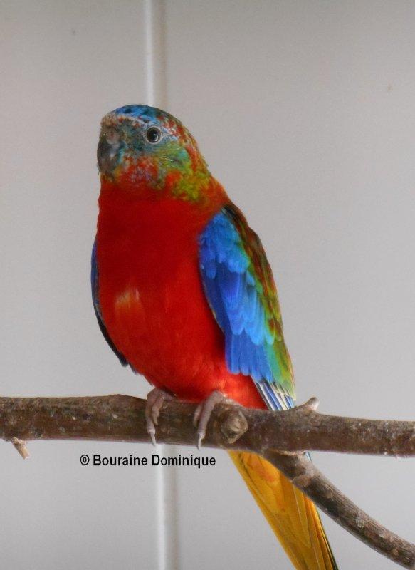 Turquoisine opaline mâle VPDR