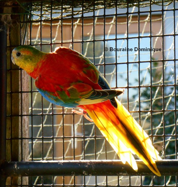 Turquoisine opaline mâle VPDR 2015 frère du 1er