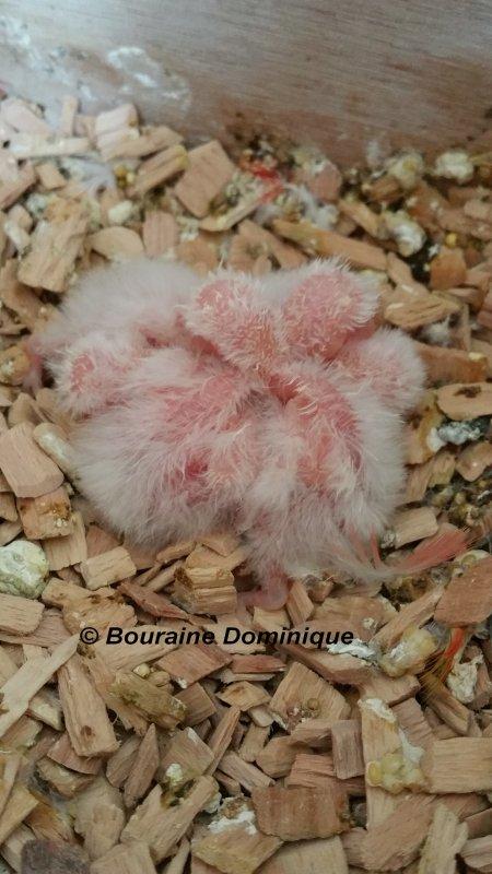 Perruches de Bourke jeune 2016