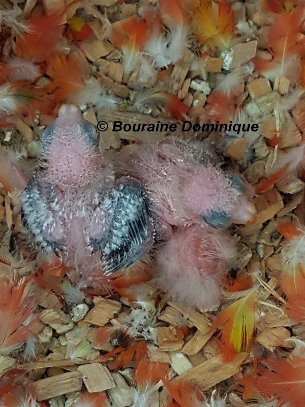 Turquoisine opaline gris vert & Turquoisisne opaline dilué naissances 2017 suite