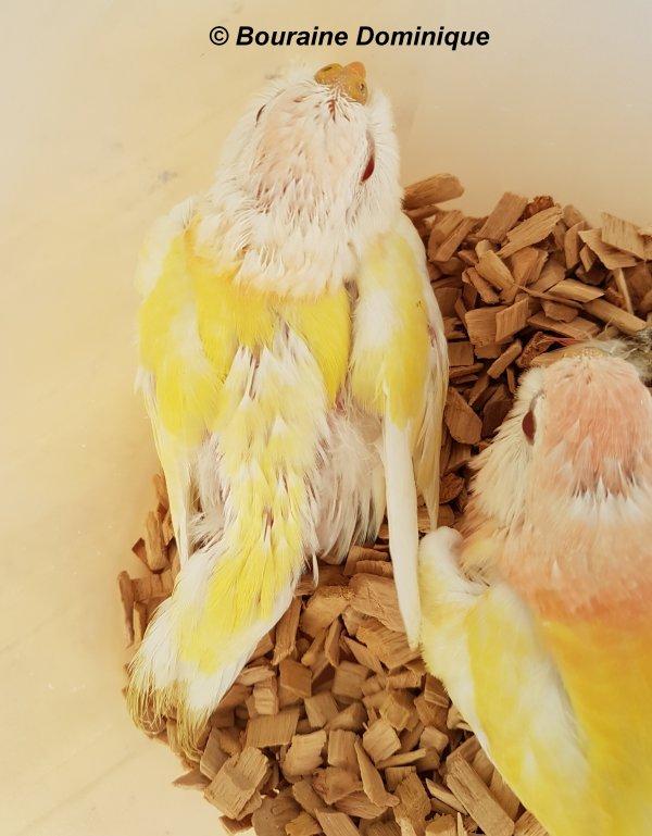 Perruche de Bourke naissance de 3 jeunes Lutino 2017 suite