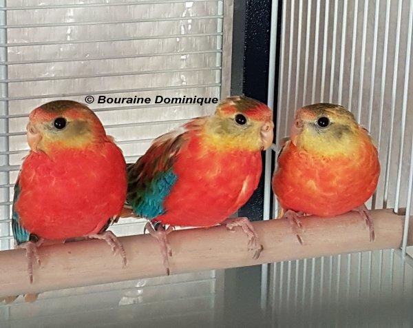 Turquoisine opaline 1ères naissances 2017 suite 2
