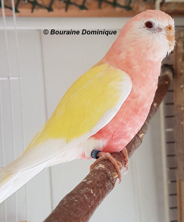 Perruche de Bourke lutino femelle 2017