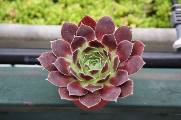 petites plantes de la famille des crassulac es blog de cactusman94. Black Bedroom Furniture Sets. Home Design Ideas