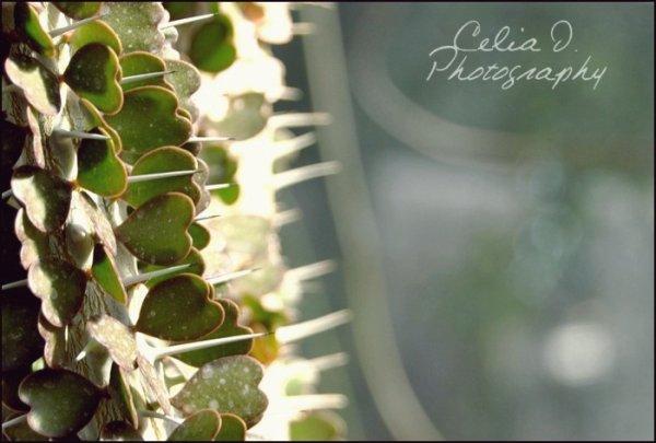 Ce cactus signifie l'amour .. Beaucoup d'amour, avec autant de piquants .. ♥