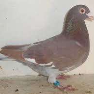 marché au pigeon de la société de Le Quesnoy
