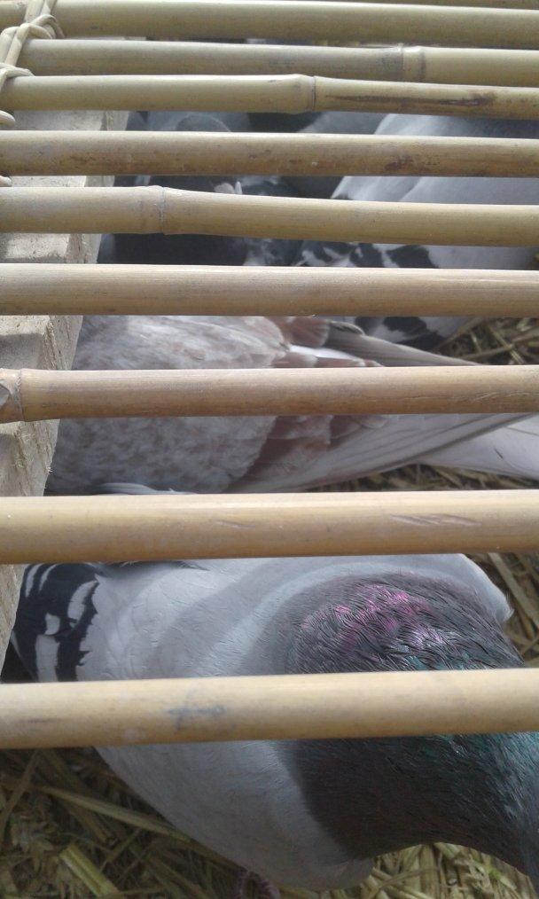 lâcher pigeons au Quesnoy au monument des néo-zélandais dimanche 29 avril