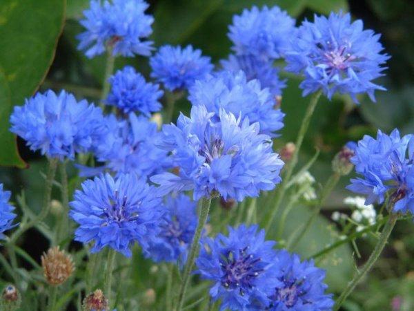 Souvenir du 11 novembre: le bleuet seule fleur qui était présente dans les champs de guerre