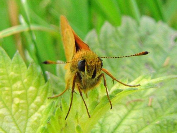 papillon hèsperie du dactyle.