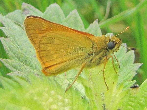papillon hespèrie du dactyle.