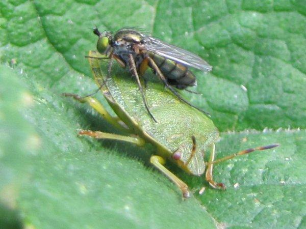 une punese verte fait amie amie avec une mouche des prèries