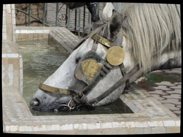 le cheval de trait a calèche(Marackech)